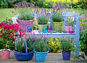 Lavandula (lavender) in baskets and pots