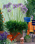 Agapanthus (African ornamental lily)