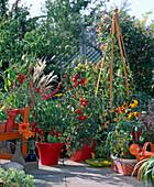 Lycopersicon (tomato)