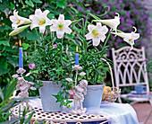 Lilium longiflorum 'Gelria' (white trumpet lily)