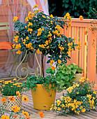 Cassia corymbosa (spice bark), Hedera (ivy)