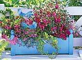 Fuchsia (fuchsia), Lobelia (male loyal)