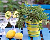 Pelargonium citronella 'mosquito shocker' (lemon geranium)