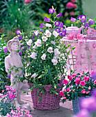 Campanula medium (Marian bellflower)