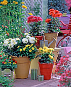 Dahlia (Dahlia), white, yellow, red and pink