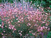 Gaura lindheimeri 'Siskyou pink' (Lindheimer's beeblossom)