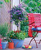 Solanum (gentian tree), rosmarinus (rosemary)