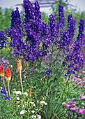 Delphinium Belladonna 'Blue Papillon' (Larkspur)
