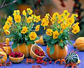 Viola cornuta sherbet 'Yellow Delight' (horn violet)