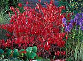 Viburnum plicatum (Snowball)