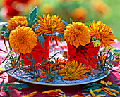 Dahlia (dahlia) orange in red glasses