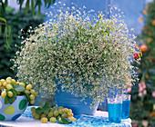 Euphorbia 'Diamond Frost' (milkweed)