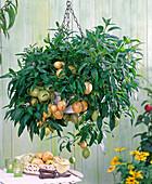 Solanum muricatum (Pepino, melon pear)