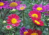 Callistephus Astoria 'Blue' and 'Carmine Pink' (Summer Aster)
