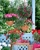 Pelargonium 'Rainbow Red', 'Neila' (Geranium)