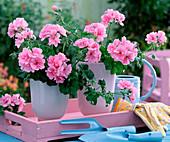 Pelargonium peltatum Starlight 'Rose' (Hanging Geranium)