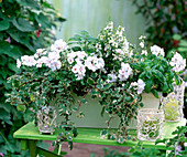Pelargonium Starlight 'Albina Nova' (Hanging Geranium)