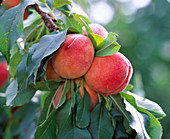 Prunus 'Amber var. Pixzee' (Dwarf peach)