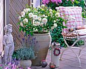 Pink 'Snow White' (shrub rose)