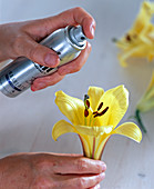 Sprinkle lily with hair lacquer