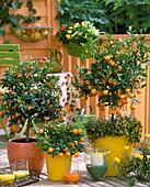 Citrofortunella microcarpa, Citrus fortunella