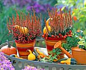 Calluna 'Beauty Ladies' (Budding Heath), Orange Colored