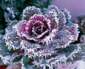 Brassica (ornamental cabbage head) in hoarfrost