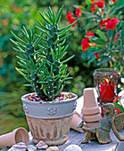 Opuntia cylindrica (prickly pear cactus), elves, clay pots