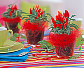 Capsicum annuum (ornamental paprika) in red glasses, red sisal