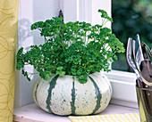 Petroselinum (parsley), Cucurbita (pumpkin) as a planter
