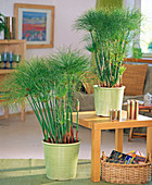 Cyperus papyrus (Papyrus) in light green pots