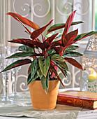 Stromanthe sanguinea (flower marant) in an orange pot