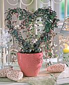 Ceropegia woodii ' Variegata ' (Leuchterblume) in Herzform gezogen