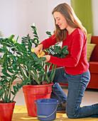 Zamioculcas zamiifolia (Tropenwurz), Blätter mit Schwamm abwaschen