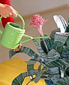 Aechmea fasciata (Lanzenrosette) in den Blütentrichter gießen