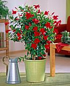 Mandevilla Sundville 'Red' (Dipladenie) in the light green pot