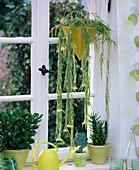 Hoya linearis, Crassula, Sedum