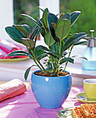 Ficus elastica 'Decora' (rubber tree) in blue pot