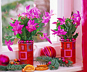 Christmas cactus in cups, Abies procera