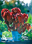 Coleus Wizard series, red-leaved in the blue tin pot