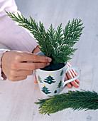 False cypress in cups