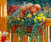 Chrysanthemum Yahou 'Luron' (autumn chrysanthemum)