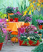 Aster novi-belgii in orange and red pots and box