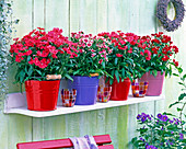 Dianthus chinensis in colorful tin pots and colorful glass lanterns
