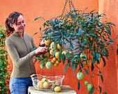 Woman harvesting Solanum muricatum 'Pepino' (melon pear)