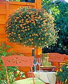 Hanging basket with Calibrachoa Millionbells 'Golden Terracotta'