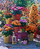 Chrysanthemum (autumn chrysanthemum) 'Palü Bronce', 'Kalisto'
