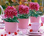 Chrysanthemum grandiflorum (großblumige Chrysantheme) in rosa Blechtöpfen