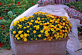 Protection against early frosts, box with chrysanthemum (chrysanthemum)