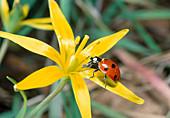 Seven-spot ladybugs on meadow-yellow-stars (Gagea pratensis)